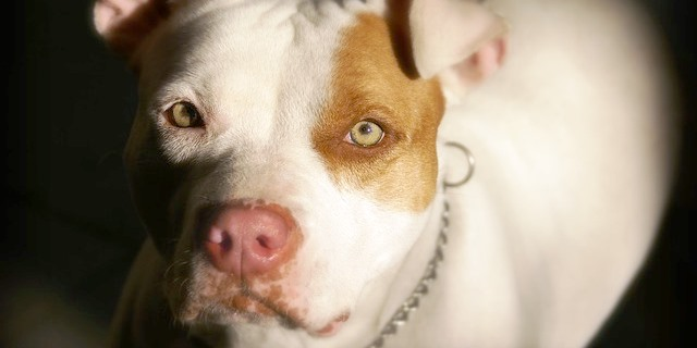 perro de raza pitbull terrier