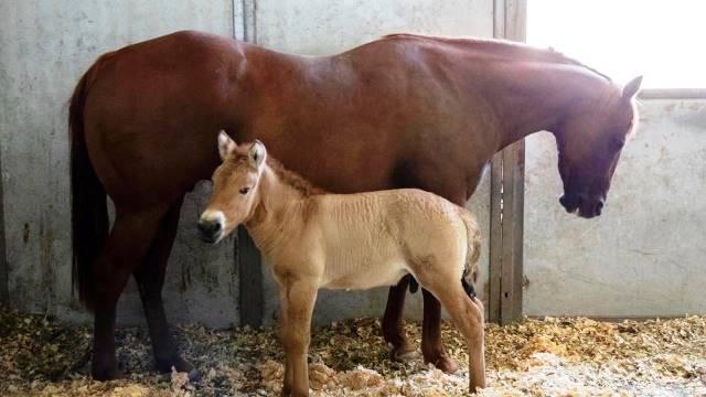 caballos Przewalski