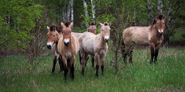 caballos Przewalski en Chernóbil