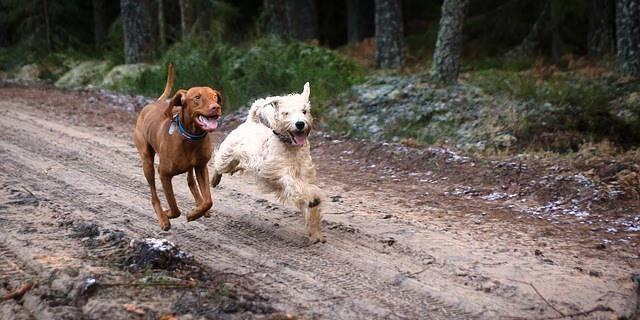 perros juegan