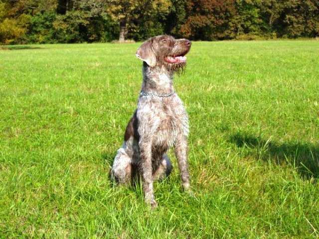 Perro raza braco eslovaco de pelo duro