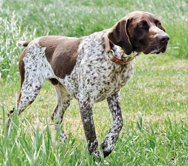 Perro raza braco francés