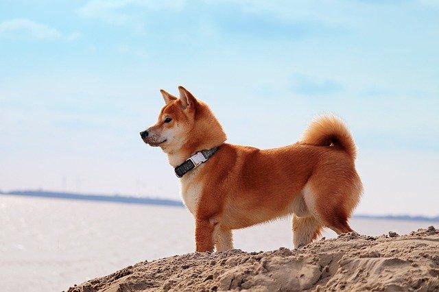 imagen de un perro Shiba Inu rojo