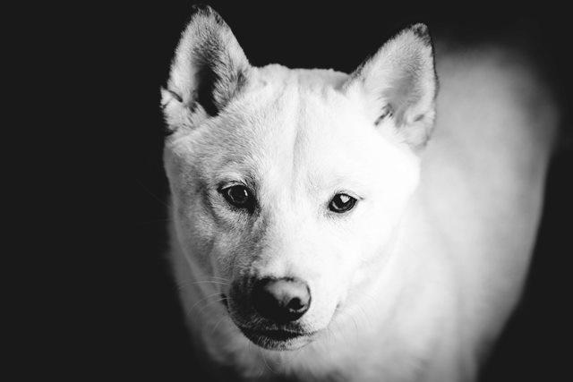 Shiba Inu de color blanco