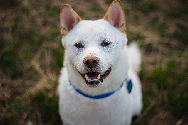 foto de un can shiba inu color blanco