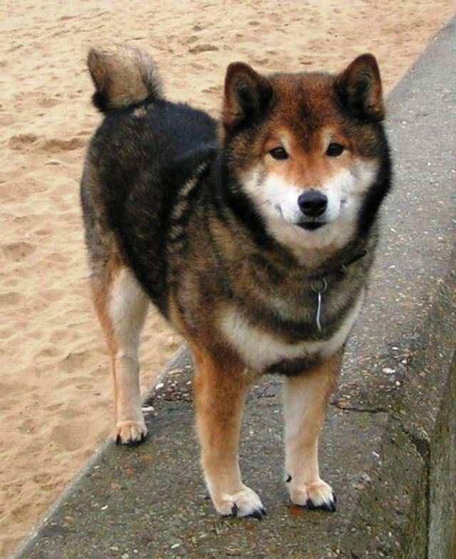 imagen de un perro shiba inu sésamo a sesame
