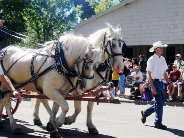 caballos American Cream Draft