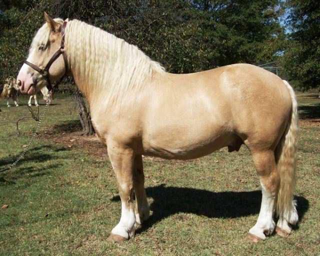 caballo American Cream Draft