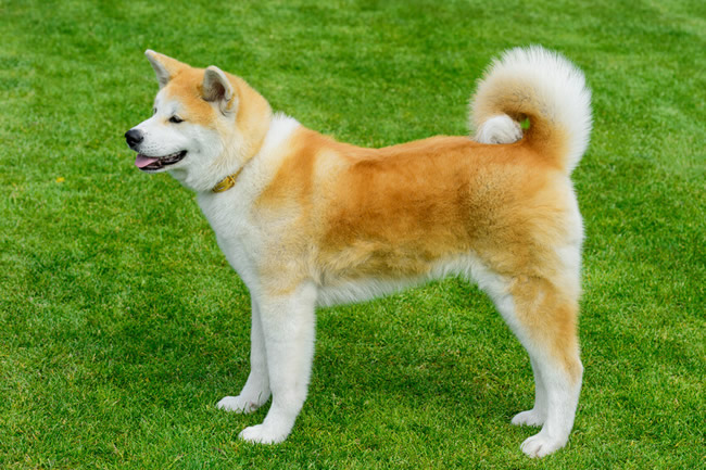 perro de raza ppp Akita Inu