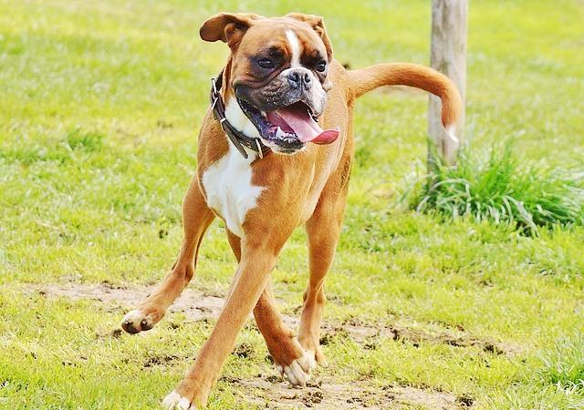 perro raza boxer peligroso