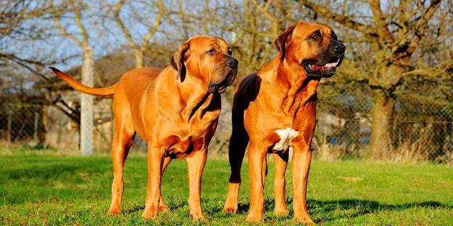 Los perros de raza Tosa Inu son considerados como PPP