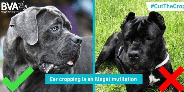 amputaciones orejas perro Reino Unido