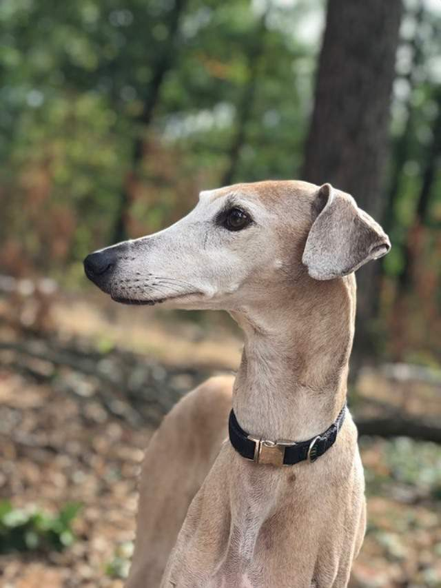 imagen de un perro galgo Azawakh