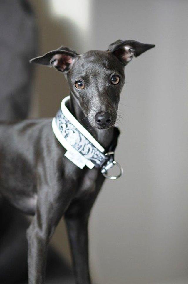 imagen de un perro galgo italiano