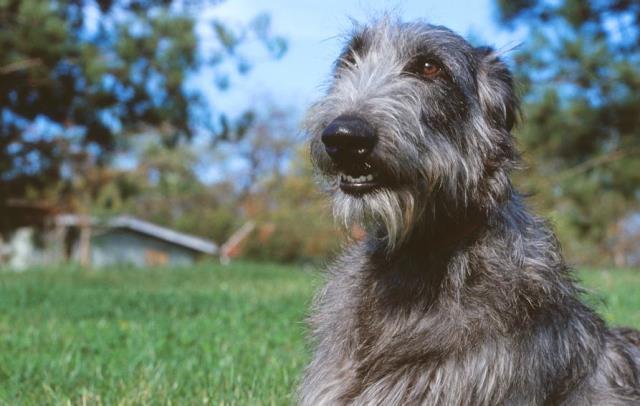 imagen de un perro galgo escocés o Deerhound