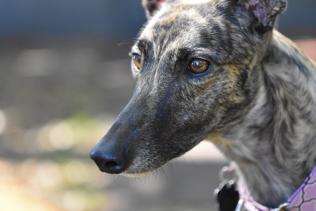 imagen de un perro galgo ingles o greyhound