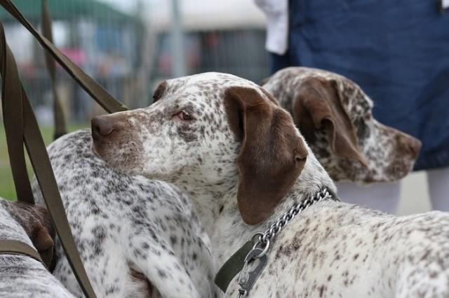 Raza de perro Braco de Borbón