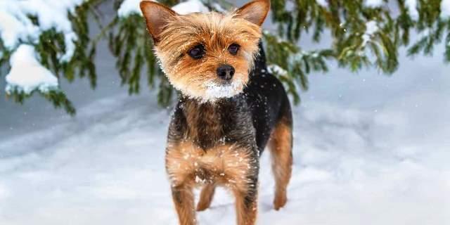 imagen de un perro chorkie en la nieve