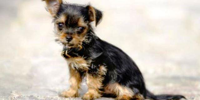imagen de un perro cachorro chorkie de color negro