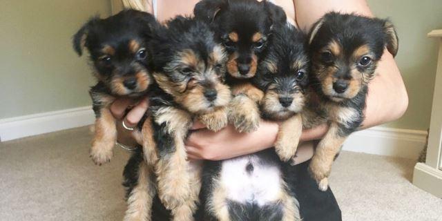 imagen con varios perros chorkie pequeños