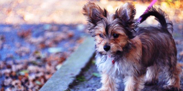Chorkie es la mezcla de perros yorkshire terrier y chihuahua