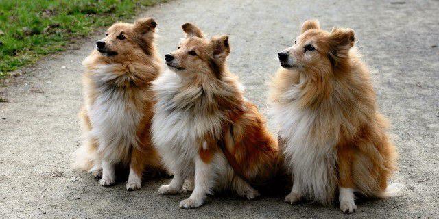 Tipos de perros collie