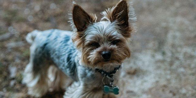 perro pequeño agresivo