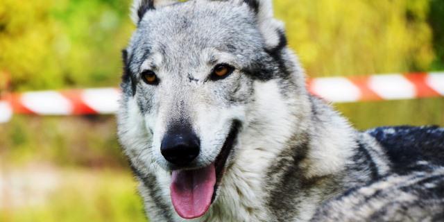 Perros, lobo e híbridos: ¿Cuáles puedo tener como mascota?