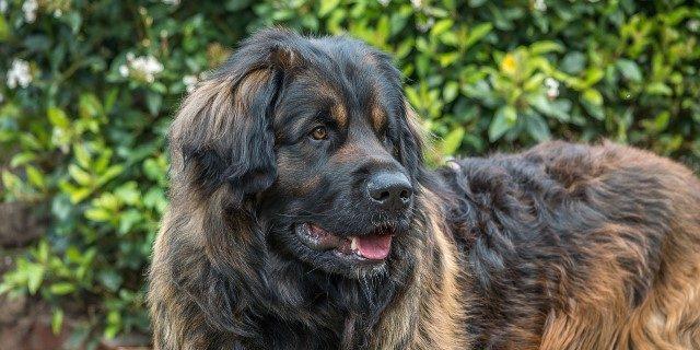 perro de raza alemán leonberger